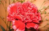 母親節的象徵之康乃馨