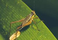 夏威夷蟋蟀的快速進化
