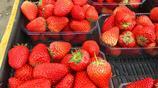 吉林郊區採摘園內鮮紅草莓成熟上市新鮮香甜