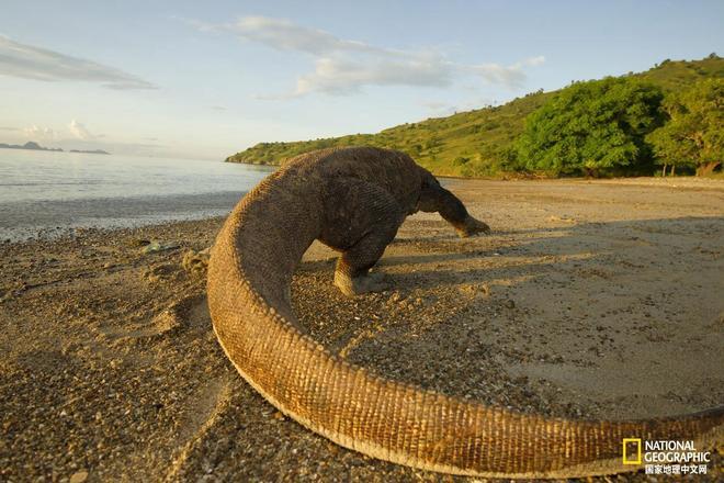 """科莫多巨蜥為啥不願長途跋涉開拓新領地,因為它們""""宅""""啊!"""
