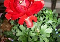 陽臺養一盆這個花,葉子像芹菜,開花像玫瑰,種一次,年年開花!