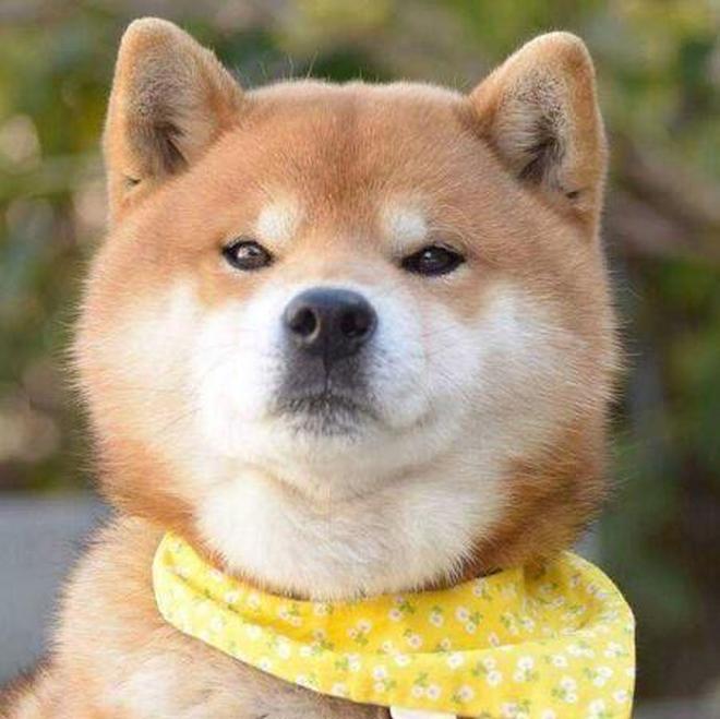 動物圖集:柴犬