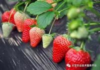 2017年最受歡迎草莓鮮食品種介紹!