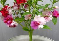 農村如何種植好鳳仙花?鳳仙花的用途有哪些?