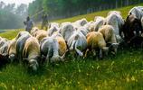 黃河灘區貧困村的羊群上大堤了,綠草如茵成牧場,村民脫貧有產業