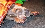 高清動物美圖:威瑪獵犬