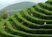 雲南普洱茶每年成百上千噸的臺地茶都哪去了?