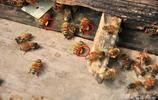蜂王漿,是怎麼來的?實拍鄉野裡養蜂者製取蜂王漿