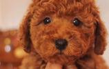 世界萌寵:泰迪也會耍心眼?還有比它聰明的狗狗嗎