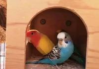 虎皮鸚鵡與牡丹鸚鵡的性格差異