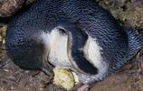 企鵝:小藍企鵝,又名小企鵝、是企鵝家族中體型最小的物種!