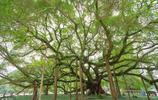 """中國最賺錢的一棵樹:每年收入上千萬,被當地人稱為""""乾媽"""""""