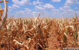 這些人偷懶不種地,中國人一去荒地變寶地,一畝地收了900斤穀子