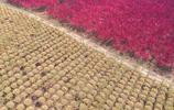 千畝碧桃花海迎春綻放,似火花蕾如粉色仙境,這裡成了新的打卡地
