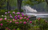 冷雨初晴,這裡牡丹全面盛開,小橋流水掩映下更是美成畫!