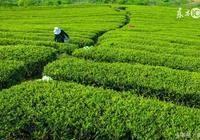 茶樹種植與管理技術