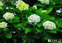 柳州河東苗圃繡球花妝扮傳統端午節