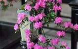 杜鵑花盆景