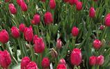 鄭州鬱金香花開荼蘼,和春天的約會