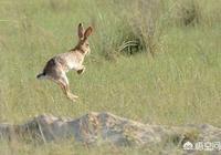 現在農村野兔還多嗎?為什麼?