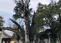 """河南這16棵千年古樹,每一棵都是""""樹王""""級!你的家鄉有嗎?"""