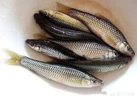 麥穗魚有鯽魚好吃嗎?要不要去鱗、腸肚和鰓?