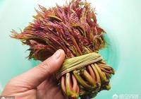 農村頭茬香椿芽好吃,但你知道香椿樹皮有什麼用途嗎?