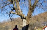 秦嶺鎮安海棠山|圍繞一棵千年古樹住著四戶人家,其中三戶有人住