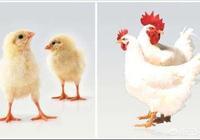 感覺近期山東雞苗價格波動很大,毛雞,雞苗,後期發展趨勢如何?