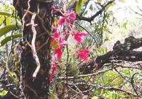 雲南元江發現火焰蘭