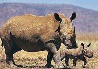 永逝的中國犀牛