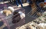 真實拍攝唐山最大狗市:馬犬與金毛戀愛了,娃娃親當眾撒狗糧