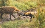 非洲大草原上的生死對頭:非洲鬣狗VS非洲野狗
