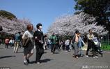 國內櫻花眾多國人為何還跑日本看?別噴,東京這家公園或是個理由