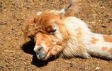 動物圖集:可愛神獸羊駝特寫