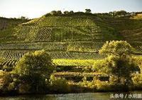 釀酒葡萄的品種與特性
