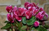 植物花卉圖集:五顏六色的仙客來