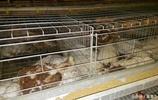 家禽中暑太可怕,掌握應對措施讓家禽清涼一夏
