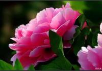 牡丹之花為最貴,代表吉祥又如意,太美了,快分享給朋友吧!