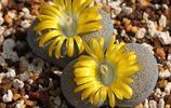 這麼漂亮的多肉植物,你能相信它們在冬天也能開花嗎?