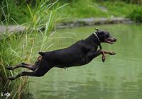 正確餵養杜賓犬幼犬,杜賓犬的成長應該有哪些飲食?