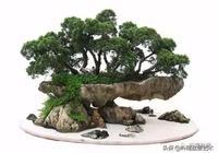 柏韻——柏樹盆景