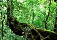 什麼是野生茶樹和栽培型古茶樹?