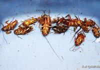 史上最好的蟑螂藥,不是蟑螂藥是廚房食材,從此家中徹底沒蟑螂!