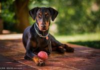 德國牧羊犬vs杜賓犬,誰更厲害?為什麼很多人喜歡德牧?