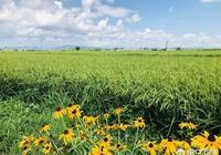 插水稻前,田裡施什麼肥料好?一畝施多少斤?