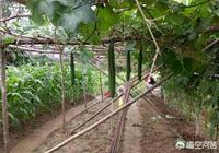 農村老人種植絲瓜,為什麼要在絲瓜下部用繩子吊塊石頭?是為了絲瓜長得更長?