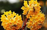 結香,別名,黃花結香,是瑞香科結香屬的植物