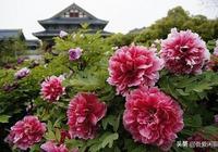 你知道牡丹花的花語嗎?盆栽牡丹花應該如何正確養殖
