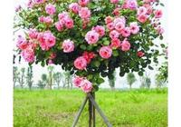 在種植月季樹時選盆也是有一定的技巧,你想知道嗎?